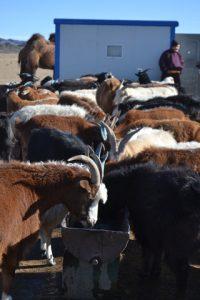 napajeni-dobytka-u-nove-zbudovaneho-vrtu