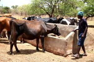 Project Appropriate and stable fodder production for dairy cattle on the small scale farms